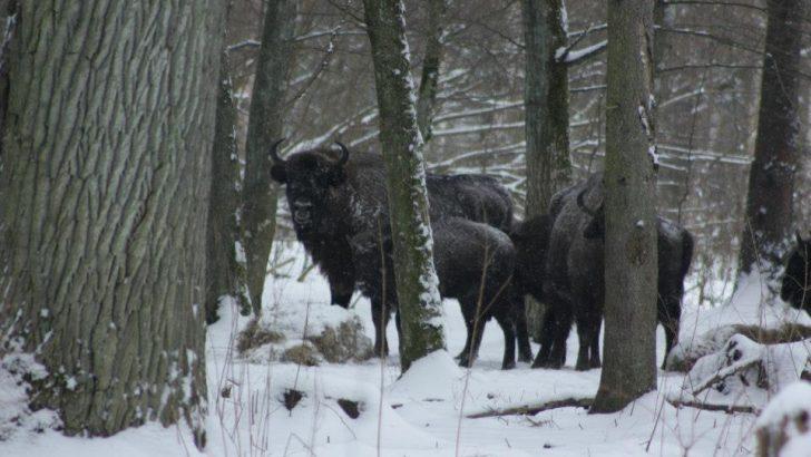 Żubry w lesie, w śniegu
